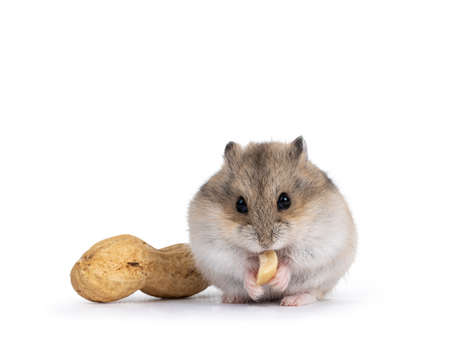 Cute brown baby hamster, eating peanut. Isolated on a white background.
