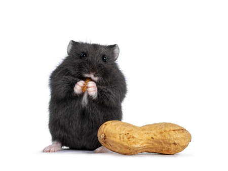 Cute brown baby hamster, eating mealworm, standing beside peanut. Isolated on a white background. Фото со стока