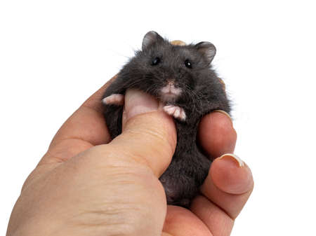 Cute black baby hamster, held in human hand. Isolated on a white background.