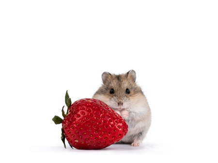 Cute brown baby hamster, hiding behind strawberry fruit. Isolated on a white background.