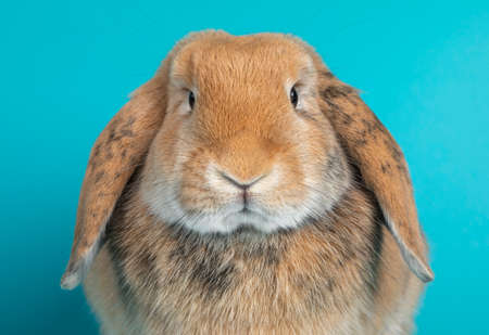 Head shot of light brown lop ear rabbit, isolated on turquoise background. Фото со стока
