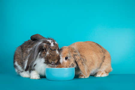 Two lop eared rabbits sitting together by a blue ceramic fod bowl. Isolated on a turquoise blue background Фото со стока