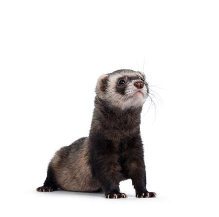 Cute young ferret standing with head high sniffing, looking straight ahead. Isolated on a white background.
