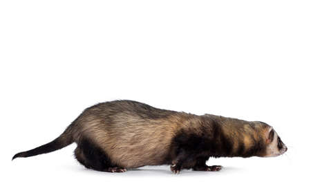 Cute young ferret walking side ways, looking straight ahead. Isolated on a white background.