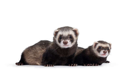 Cute couple of young ferrets laying down side ways, looking to camera. Isolated on a white background. Фото со стока