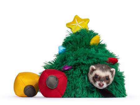 Cute young ferret sitting in toy christmas tree beside toy christmas balls, looking to camera. Isolated on a white background.
