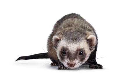 Cute young ferret standin facing front, looking to camera. Isolated on a white background. Фото со стока
