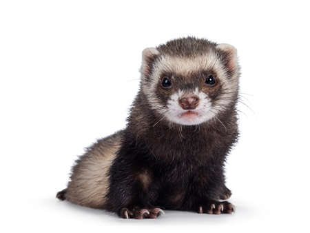 Cute young ferret sitting facing front, looking to camera. Isolated on a white background.