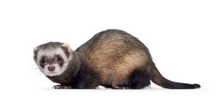 Cute young ferretstanding side ways, looking to camera. Isolated on a white background. Фото со стока