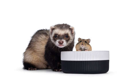 Cute young ferret sitting beside food bowl with hamster, looking both to camera. Isolated on a white background.