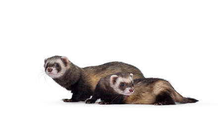Cute young ferrets standing side ways, looking to the side and to camera. Isolated on a white background. Фото со стока