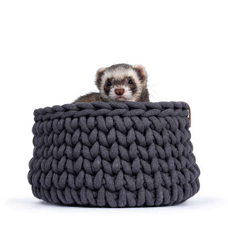 Cute young ferret sitting in gray knitted basket, looking over edge to camera. Isolated on a white background. Фото со стока