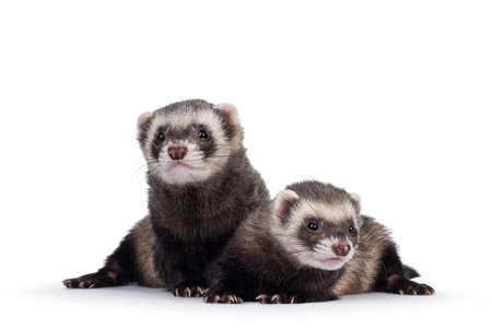 Cute couple of young ferrets sitting and laying down facing front, looking to camera. Isolated on a white background.