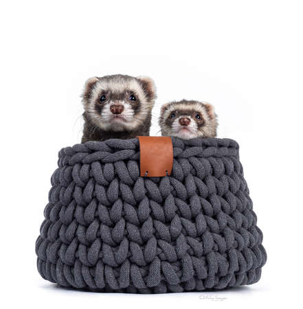 Cute couple of young ferrets sitting in gray knitted basket, looking over edge to camera. Isolated on a white background. Фото со стока