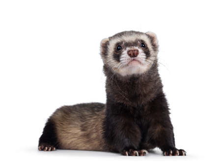 Cute young ferret laying down facing front with head lifted up, looking to camera. Isolated on a white background.