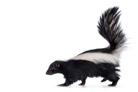 Cute classic black with white stripe young skunk aka Mephitis mephitis, walking side ways. Head up looking straight ahead with tail high up. Isolated on a white background.