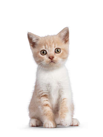 Adorable cream with white British Shorthair cat kitten, sitting up facing front. Looking towards camera. isolated on white background. One paw playfully lifted. 版權商用圖片