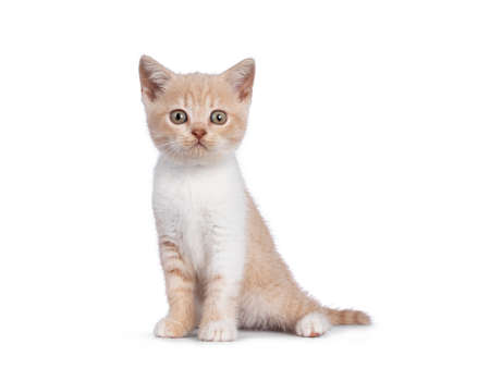 Adorable creme with white British Shorthair cat kitten, sitting up side ways. Looking towards camera. isolated on white background.