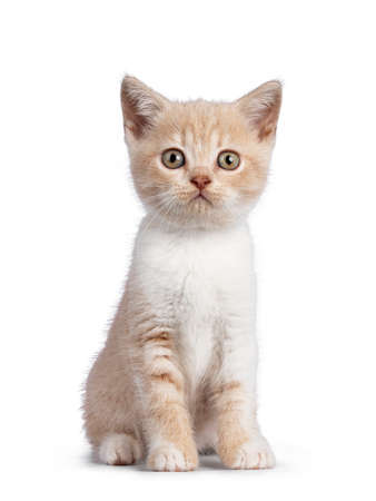 Adorable cream with white British Shorthair cat kitten, sitting up facing front. Looking towards camera. isolated on white background.