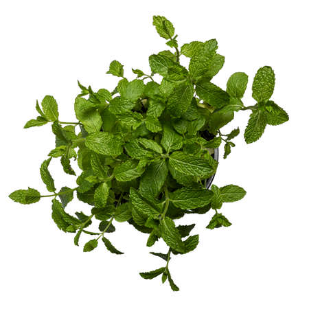 Close up top view studio shot of fresh green mint herb. Isolated on white background. 版權商用圖片
