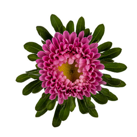 Top view of single Michaelmas Daisy aka Callistephus chinensis flower head. Isolated on a white background.