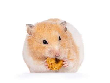 Adult golden hamster sitting facing front, holding a donut treat in mouth and paws. Isolated on a white background. 版權商用圖片