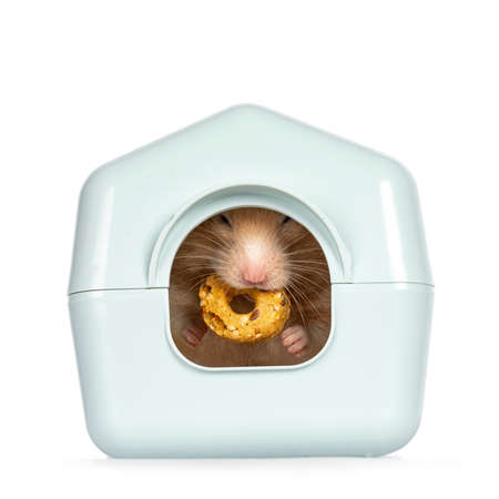 Adult golden hamster hiding in light blue plastic home shaped box, holding a donut treat in mouth. Isolated on a white background.