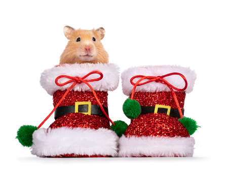 Adult golden hamster looking over edge of pair of Santa boots. Looking straight into camera. Isolated on a white background.