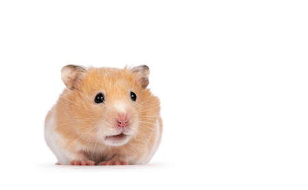 Adult golden hamster sitting facing front. Looking away from camera. Isolated on a white background.