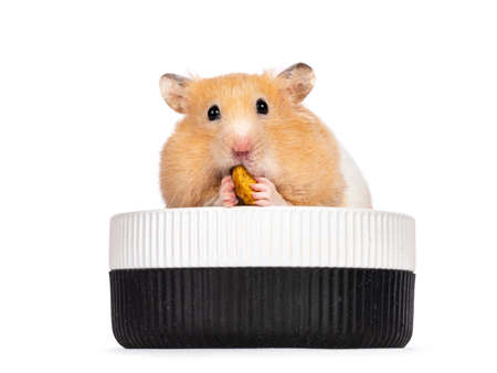 Adult golden hamster sitting facing front in ceramic food bowl. Eating and holding a donut shaped treat. Looking straight into camera. Isolated on a white background.