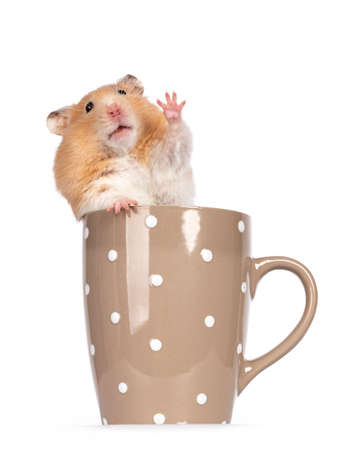 Adult golden hamster sitting facing front in a ceramic mug. Looking straight into camera and waving hello with one paw. Isolated on a white background.