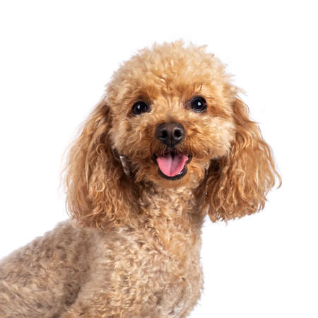 Head shot of adorable young adult apricot brown toy or miniature poodle. Recently groomed. Sitting side ways facing camera with mouth open showing tongue. Isolated on a white background.