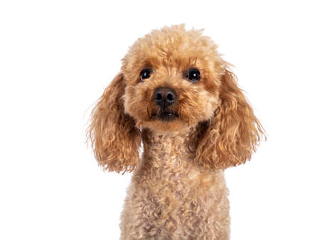 Head shot of adorable young adult apricot brown toy or miniature poodle. Recently groomed. Sitting side ways facing camera with mouth closed. Isolated on a white background.