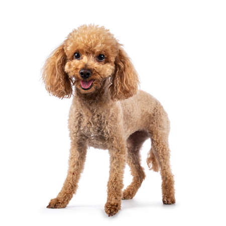 Adorable young adult apricot brown toy or miniature poodle. Recently groomed. Standing facing camera with mouth open showing tongue. Isolated on a white background.