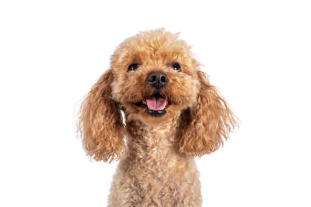 Head shot of adorable young adult apricot brown toy or miniature poodle. Recently groomed. Sitting facing camera with mouth open showing tongue. Isolated on a white background.