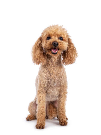 Adorable young adult apricot brown toy or miniature poodle. Recently groomed. Sitting facing camera with mouth open showing tongue. Isolated on a white background. 版權商用圖片