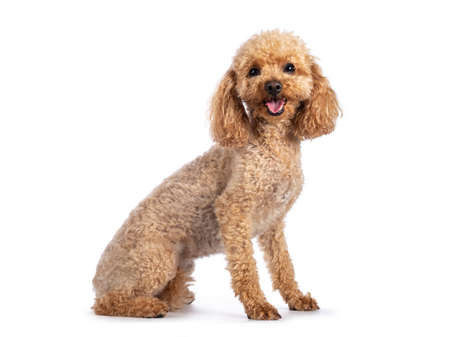 Adorable young adult apricot brown toy or miniature poodle. Recently groomed. Sitting side ways facing camera with mouth open showing tongue. Isolated on a white background. 版權商用圖片
