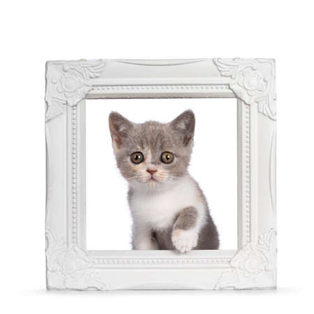 Cute tortie British Shorthair cat kitten, stepping through white picture frame. Looking towards camera with mesmerizing greenish golden eyes. Isolated on white background.