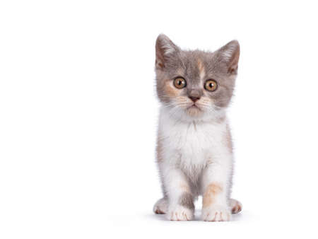 Cute lilac tortie British Shorthair cat kitten, sitting up facing front side, looking towards camera. isolated on white background.