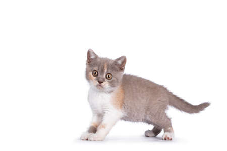 Cute lilac tortie British Shorthair cat kitten, standing side ways, looking towards camera. isolated on white background.