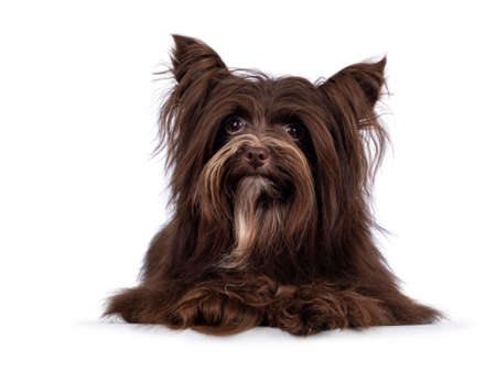 Cute little 1 year old dark brown Yorkshire Terrier dog, laying down face front. Looking towards camera. Isolated on white background.