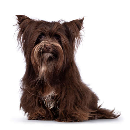 Cute little 1 year old dark brown Yorkshire Terrier dog, sitting up face front. Looking towards camera. Isolated on white background.