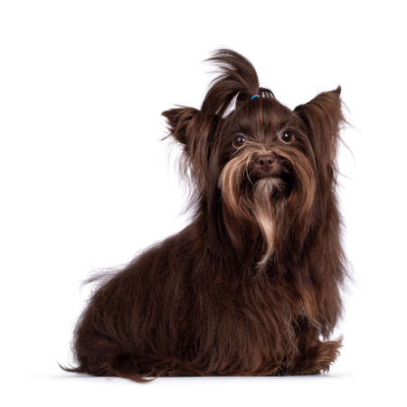 Cute little 1 year old dark brown Yorkshire Terrier dog, sitting up side ways. Hair in pony tail on head. Looking towards camera. Isolated on white background.