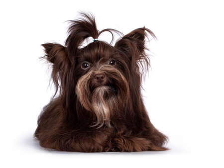 Cute little 1 year old dark brown Yorkshire Terrier dog, laying down face front. Hair in pony tail on head. Looking towards camera. Isolated on white background.