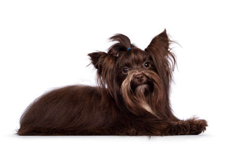 Cute little 1 year old dark brown Yorkshire Terrier dog, laying down side ways. Hair in pony tail on head. Looking towards camera. Isolated on white background.