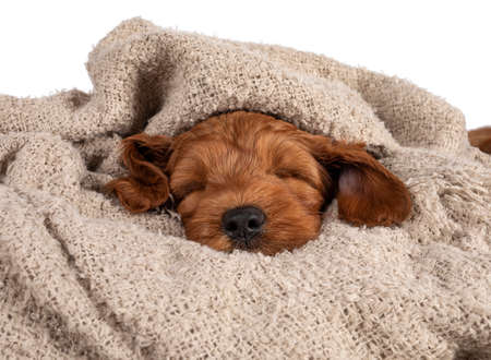 Adorable Cobberdog puppy aka Labradoodle dog, laying under brown blanket sleeping. Isolated on a white background. 版權商用圖片