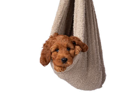 Adorable Cobberdog puppy aka Labradoodle dog, hanging in brown white like newborn baby. Looking straight to camera. Isolated on a white background.