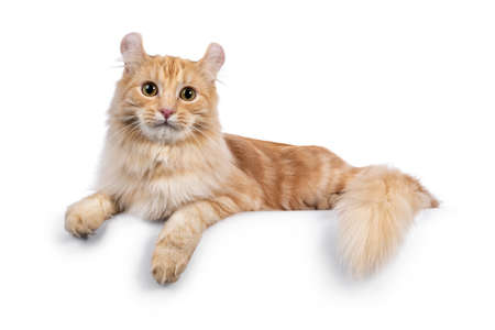 Handsome young adult American Curl Longhair cat, laying down side ways on edge.Looking straight into lens. Isolated on a white background. 版權商用圖片