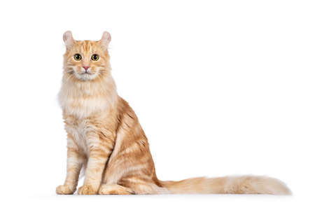 Handsome young adult American Curl Longhair cat, sitting up side ways. Looking straight into lens. Isolated on a white background.