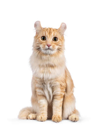 Handsome young adult American Curl Longhair cat, sitting up facing front. Looking straight into lens. Isolated on a white background. 版權商用圖片